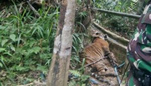 "A Critically Endangered Tiger ""Trapped"" in Sumatra (July 10, 2017)"