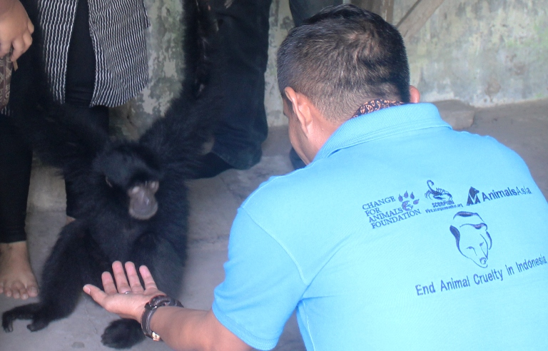 BBKSDA and Scorpion Rescue Two Gibbons in Medan, Sumatra (July 6, 2017)