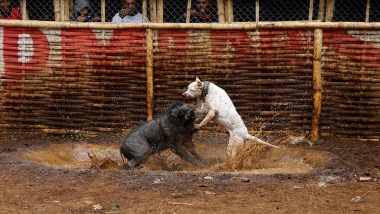Provincial Government Plans to Ask all District Governments in West Java to Ban Wild Boar – Dog Fight