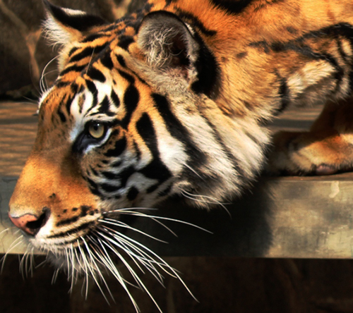 A Tiger Trader Arrested on Sumatra (February 5, 2017)