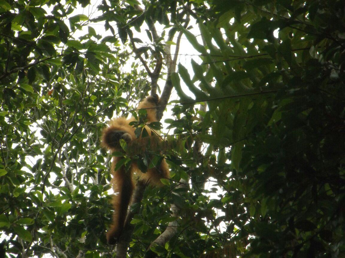 Outreach Activity for Protection of Tapanuli orangutan (January 31, 2018)