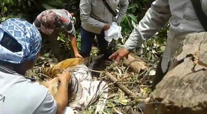 Man arrested after death of pregnant Sumatran tiger