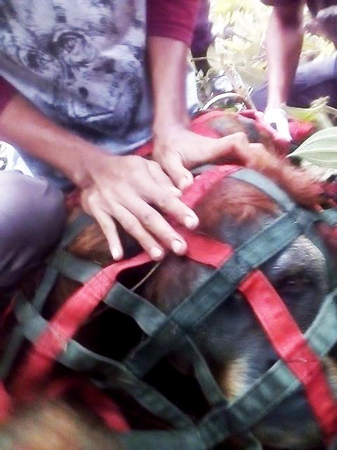 The Wildlife Authority (BBKSDA) and Partners Evacuate Tapanuli Orangutan to Prevent Conflict with Human at Dolok Nauli, Adiankoting (November 13, 2019)