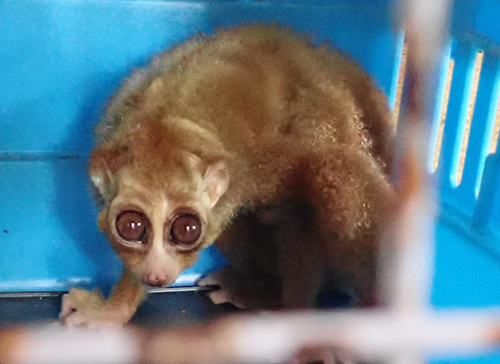 Forestry Policemen Rescue a Slow Loris from Besitang, North Sumatra (March 4, 2020)