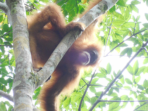 BBKSDA-Scorpion Joint Patrol Encounters Tapanuli Orangutans (December 2, 2019)